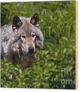 Timber Wolf Pictures Wood Print