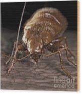 Bedbug Cimex Lectularius Wood Print