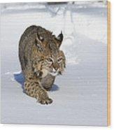 Bobcat Felis Rufus Wood Print