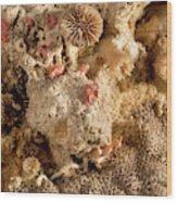 Cheilostomata Bryozoan Wood Print