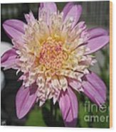 Dahlia Named Siemen Doorenbosch Wood Print