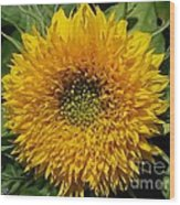 Dwarf Sunflower Named Teddy Bear Wood Print
