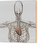 Medical Illustration Of Female Wood Print