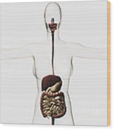 Medical Illustration Of The Human Wood Print