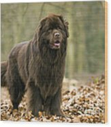 Newfoundland Dog Wood Print