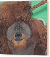 Portrait Of A Large Male Orangutan Wood Print