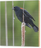 Red-winged Blackbird Wood Print