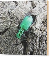 6 Spotted Tiger Beetle Wood Print