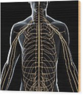The Nerves Of The Upper Body Wood Print