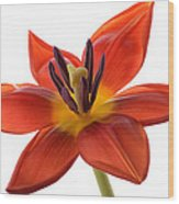 Tulip Wood Print by Mark Johnson