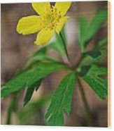 Yellow Wood Anemone Wood Print