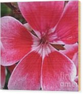 Zonal Geranium Named Candy Fantasy Kiss Wood Print