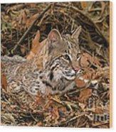 611000006 Bobcat Felis Rufus Wildlife Rescue Wood Print