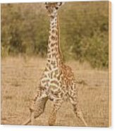 6310 Baby Masai Giraffe Getting Up Wood Print