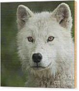 Arctic Wolf Pup Wood Print
