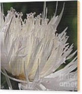 Centaurea Named The Bride Wood Print