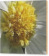 Dahlia Named Platinum Blonde Wood Print
