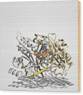 Ecorv Restriction Enzyme Molecule Wood Print by Science Photo Library