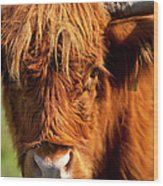 Highland Cow Wood Print by Brian Jannsen