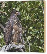 Juvenile Bald Eagle Wood Print