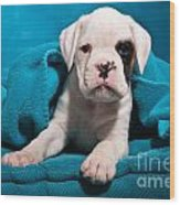 little Boxer dog puppy Wood Print