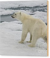 Polar Bear Crossing Ice Floe Wood Print