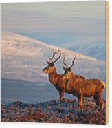 Red Deer Stags Wood Print