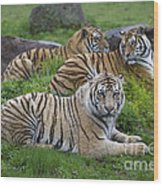 Siberian Tigers, China Wood Print