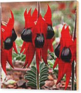 Sturt's Desert Pea Outback South Australia Wood Print