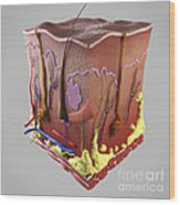 Anatomy Of Human Skin Wood Print