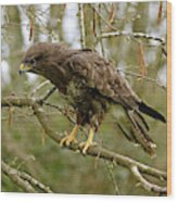 Buse Variable Buteo Buteo Wood Print