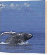 Humpback Whale Breaching Maui Hawaii Wood Print
