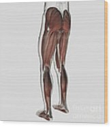 Male Muscle Anatomy Of The Human Legs Wood Print