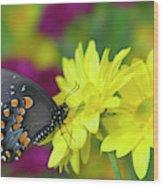 Spicebush Swallowtail, Papilio Troilus Wood Print