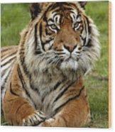 Tigre De Sumatra Panthera Tigris Wood Print