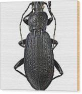 Ground Beetle Wood Print