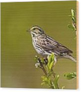 Savannah Sparrow Wood Print
