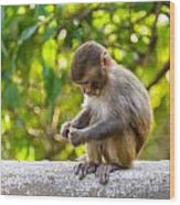 A Baby Macaque Eating An Orange Wood Print