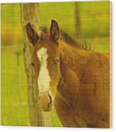 A Blue Eyed Colt Wood Print by Jeff Swan