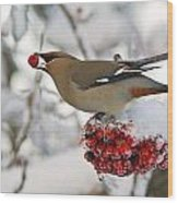 A Bohemian Waxwing Feeding On Mountain Wood Print