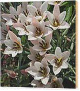 A Bouquet Of Miniature Tulips Celebrating The Spring Season - Vertical Wood Print