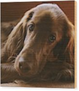 A Close View Of An Irish Setter Wood Print