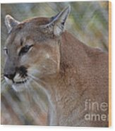 A Cougar In Deep Thought Wood Print