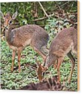 A Couple Of Dik-dik Antelopes In Tanzania. Africa Wood Print