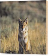 A Coyote Canis Latrans Stares Wood Print