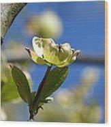A Dogwood Blossom Wood Print