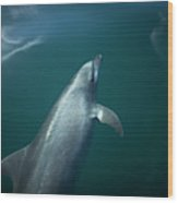 A Dolphin Swims In The Bay Wood Print