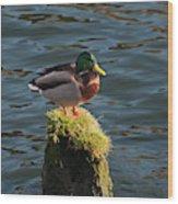 A Drake Mallard Perches On A Piling Wood Print