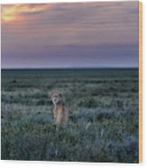 A Female Cheetah, Acinonyx Jubatus Wood Print