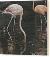 A Flamingo With Its Head Under Water In The Jurong Bird Park Wood Print